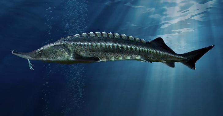 Mengenal Sturgeon, Ikan Penghasil Kaviar
